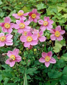 Windflower 'September Charm' • Anemone hupehensis 'September Charm' • Anemone 'September Charm' • Plants & Flowers • 99Roots.com