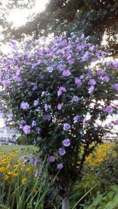 Rose of Sharon Tree in my Garden.