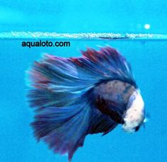 Pez betta full moon, estos peces se mantienen en pequeños acuarios. #acuarios #pezbetta #peces #bettas