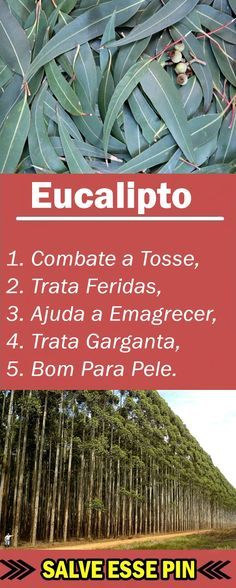 Os 30 Benefícios do Eucalipto Para Saúde! #Eucalipto #beneficiodoEucalipto #benefíciosdoEucalipto #Eucaliptoparaqueserve #Eucaliptobenefícios #Eucaliptobeneficios #comousarEucalipto #efeitoscolateraisdoEucalipto #propriedadesdoEucalipto #paraqueserveEucalipto #natural #natureza #plantação #planta #fruta #hortaemcasa #tuasaude #melhorcomsaude #globoreporte #bemestar #saúde #nutrição #alimentação #dicasdesaude Natural Medicine, Herbal Medicine, Herbal Remedies, Natural Remedies, Fodmap, Herbalism, Herbs, Healthy Recipes, Nature