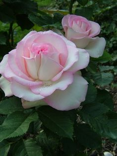 Moonstone Rose, Moonstone Hybrid Tea Rose a White and Pink Rose - looks nice next to Memorial Day