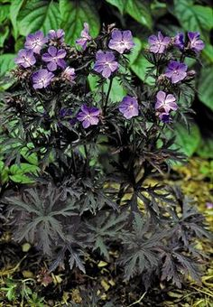 Cranesbill Geranium pratense Dark Reiter from Growing Colors Beautiful Flowers, Cranesbill Geranium, Plants, Planting Flowers, Geraniums, Geranium Plant, Geranium Pratense, Flowers, Organic Gardening Tips