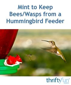 Many people recommend mint extract or essential oil to deter pests. This is a guide about using mint to keep bees or wasps from a hummingbird feeder. Hummingbird Plants, Hummingbird Garden, Hummingbird Nectar, Keep Bees Away, Humming Bird Feeders, Humming Birds, Mint Extract, Bee Supplies, Bee Do