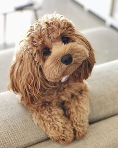 Be the person your dog thinks you are 🐶😍 Cute Dogs Breeds, Cute Dogs And Puppies, Baby Dogs, Pet Dogs, Pets, Cutest Dogs, Doggies, Cutest Small Dog Breeds, Poodle Mix Breeds