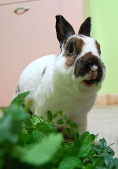 ~ Mini Rex Rabbit ~