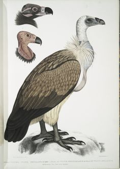 Bengal Vulture, Vultur Bengalensis. 1 Head of Vultur Pondicherianus; 2. Head of Vultur monarchus [monachus]. From New York Public Library Digital Collections.