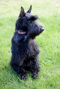 National Dog Show Terrier  Westies