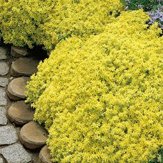 Keltamaksaruoho - Viherpeukalot Sedum, Outdoor Decor, Spring, Tree, Flowers, Garden, Rock Garden, Plants