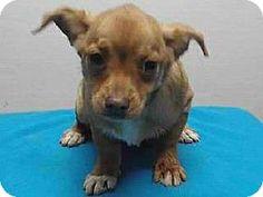 Downey, CA - Chihuahua Mix. Meet 17-12869, a puppy for adoption. http://www.adoptapet.com/pet/17344314-downey-california-chihuahua-mix