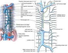 azygos venous system - Google Search