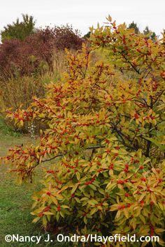 Ilex verticillata 'Winter Red' mid Oct 2014