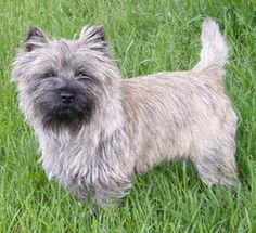Cairn Terrier  Like Toto from the Wizard of Oz
