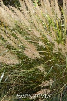 Monrovia's Korean Feather Reed Grass details and information. Learn more about Monrovia plants and best practices for best possible plant performance.