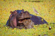 Angry Hippo. | Masai Mara. | Kenya.|  More www.shop.ingogerlach.de