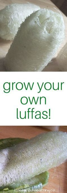 Can you even believe you can actually grow luffa sponges at home in your own garden? I thought they grew in the ocean, but they are actually gourds. Check out how easy they are to grow!
