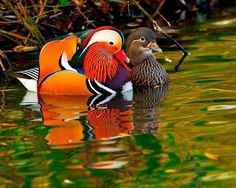 Mandarin Duck. Tommy's Fun Fact: In traditional Chinese culture, Mandarin Ducks represent a life-time couple, unlike many other species of ducks. Hence they are frequently featured in Chinese art and are regarded as a symbol of conjugal affection and fidelity!