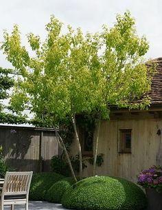 Naam Acer negundo 'Auratum'Nederlandse naam vederesdoorn, (Californische esdoorn) negundo is afgeleid uit het Sanskriet nirgunde en dat verwijst naar een boom met Vitex-blad Herkomst midden en