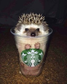 "tastefullyoffensive: ""Pumpkin spikes latte. [via] "" ツボッたw スタバハリネズミww"