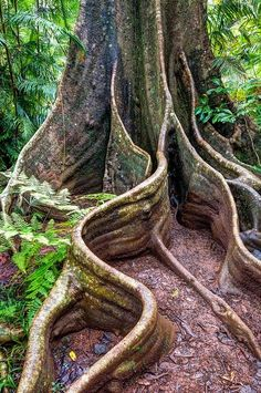 Tree with Buttress Roots in Wooroonooran National Park in Queensland Australia A remarkable picture... amazing!