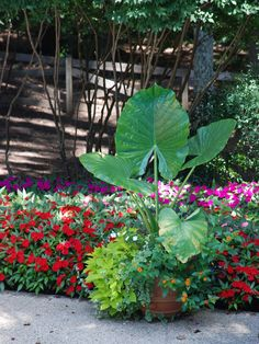 Sweet potato vine: Use the bright lime variety 'Margarita' to add an extra punch of color and vibrancy to your potted plants. Tropical Landscaping, Modern Landscaping, Tropical Plants, Garden Landscaping, Tropical Gardens, Tropical Flowers, Landscaping Ideas, Landscape Design Plans, Landscape Edging