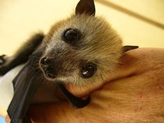 I love bats <3 look at how cute that face is.