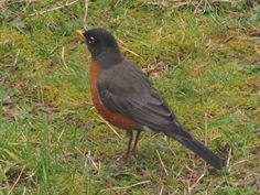 and then come the robins..