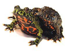 Fire Bellied Toads-These guys look fierce