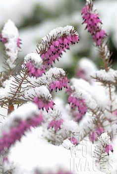 Erica carnea, Ericaceae, Winter heath, Winter Flowering Heather, Spring Heath