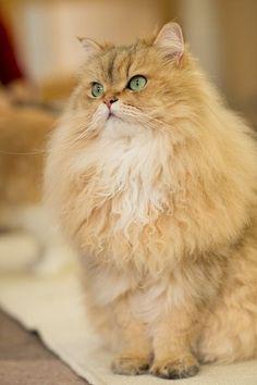 Super fluffy cat