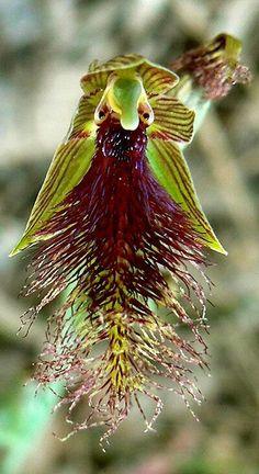Orchis CALCHILLUS ROBERTISONII