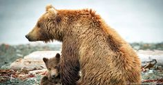 New Threat For Bears And Wolves in ANWR During Most Vulnerable Season