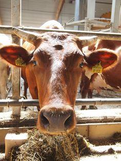 Luomulehmällä on tilaa  6 neliötä per lehmä ja lisäksi ulkoilualueella 4,5 neliötä per lehmä. Lehmiä ei saa pitää kytkettynä. Luomueläimillä tulee olla riittävästi tilaa seisoa luonnollisessa asennossa, kääntyä ympäri ja asettua helposti makuulle niin, että kaikki eläimet mahtuvat makaamaan yhtä aikaa.