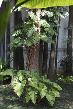 """uma atmosfera tropical moderna"""", comas folhas do guaimbê sulcado (Rhaphidophora decursiva), apoiado na árvore.o espaço ainda conta como filodendro wilsoni (Philodendron pseudoradiatum), no chão.A planta segue comrigor o comportamento da maioria de sua família: prefere meia-sombra e pode crescer até 5m, caso se apoie em uma árvore.mais plantas tropicais completam o jardim: palmeiras-fênix, asplênios, marantas, orquídeas-bambu e leias"""