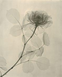 La Jolla : Dr. Dain L. Tasker, Floral Studies - radiology