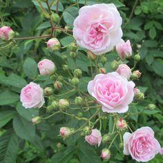 All The Colors, Flora, Plants, Pink, Colour, Lawn And Garden, Pictures, Color, Plant
