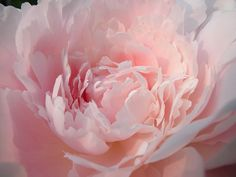 Garden Flowers : The flamboyant and sumptuous peony | Flowerona