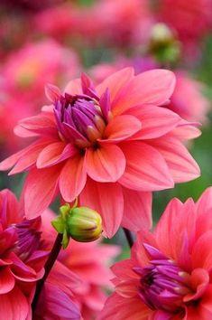 Dahlias. red and purple