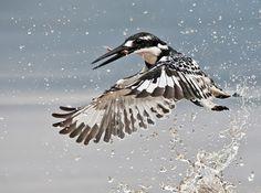 pied kingfisher    (photo by hendri venter)