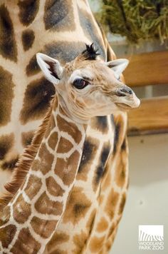 Seattle's Tallest Baby Born at Woodland Park Zoo ♥