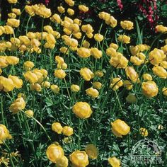 Trollius chinensis 'Golden Queen'. One of the perennials that came up in our new garden. blooms in late may