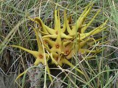gweta botswana - Google Search  (Orbea lutea - Yellow Carrion Flower)