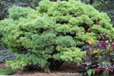 Dwarf pine tree Pinus strobus 'Nana' in garden - in some pics it looks green, in others, blue. I'll have to visit a nursery to learn the true color.