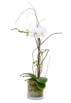 A white orchid is an elegant and long-lasting alternative to a cut flower arrangement. Sure to please. From Palace Florists via Bloompop