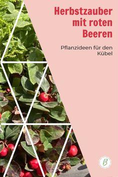 Pflanzen mit roten Beeren bringen herbstliche Fülle in deinen Garten, Kübel oder Balkonkasten. Die schönsten Sorten und Pflanzpartner stelle ich im Blog vor. #Herbstdeko #Balkonkasten Fruit, Red, Red Berries, Tips