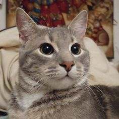 My ridiculously photogenic silver son cats kitten catsonweb cute adorable funny sleepy animals nature kitty cutie ca
