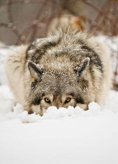 This wolf reminds me of my husky buried face first in the snow, he loves the snow! Wolf Photos, Wolf Pictures, Beautiful Creatures, Animals Beautiful, Tier Wolf, Animals And Pets, Cute Animals, Wild Animals, Baby Animals