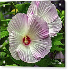 Dinner Plate Hibiscus Acrylic Print by Deb Hayes