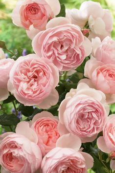 'Heritage' (1984) David Austin Rose. Go for garden roses and David Austin roses to www.parfumflowercompany.com