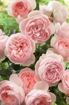 'Heritage' (1984) David Austin Rose. Go for garden roses and David Austin roses to www.parfumflowercompany.com