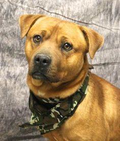 Albert - Dogue de Bordeaux/Pit Bull Terrier mix - 1 yr old - The Humane Society of Sullivan County - Sullivan, IN. - http://thssc.org/dogs.htm - https://www.facebook.com/sullivanshelter - http://www.adoptapet.com/pet/12566381-sullivan-indiana-dogue-de-bordeaux-mix - https://www.petfinder.com/petdetail/31687385/